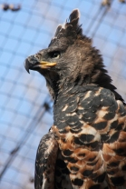 African_Crowned_Eagle_1
