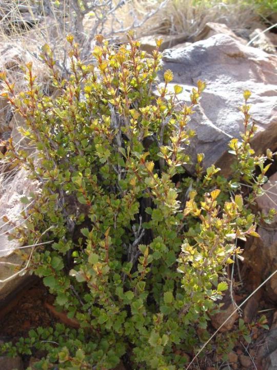 Resurrection plant Myr. Fl.