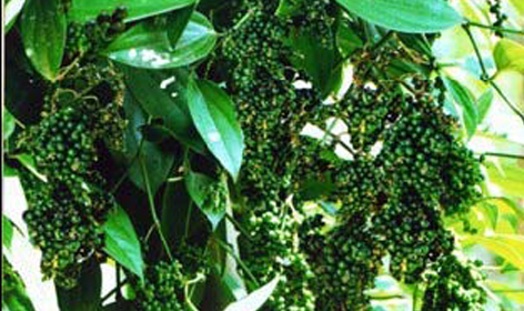photo-black-pepper-plant