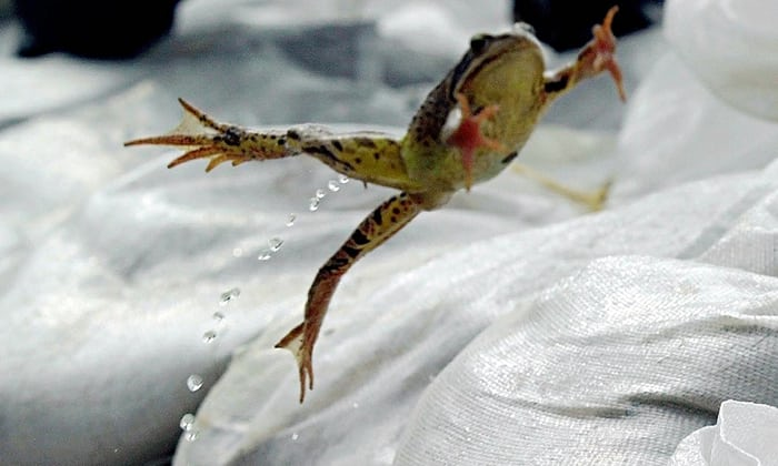 Frog-jumping-photo