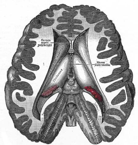 Brain dissection - position of pineal gland ANCIENT