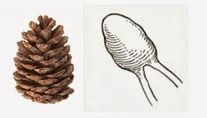 Pineal Gland is like a pine cone, hence the name