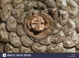 Pine cone - close up