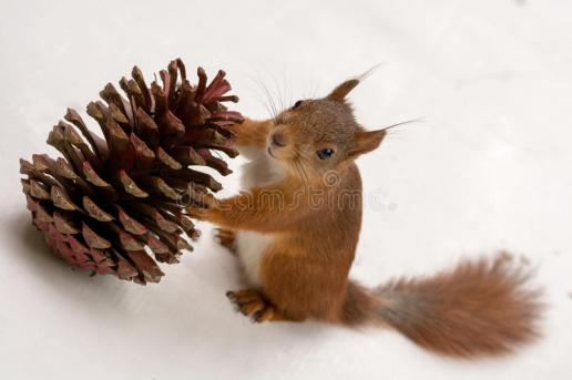 pine-cone-gift-squirrel-holding-large-pinecone-looking-up-till-camera-46789045