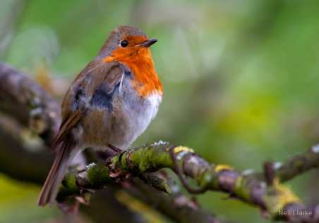 Redchested Robin