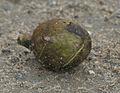 120px-Harra_(Terminalia_chebula)_fallen_fruit_at_23_Mile,_Duars,_WB_W_IMG_5900