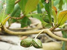 220px-Terminalia_catappa_(fruit)