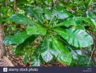 Therminalia leaf formation