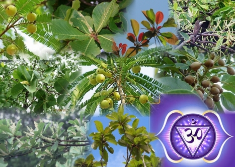 Terminalia leaf formation – montasje