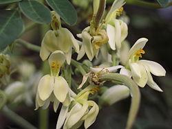 250px-moringa_flower_5