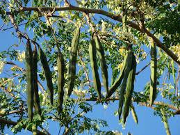 drumstic moringa