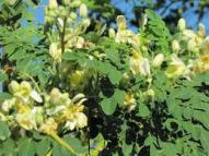 Moringa flowers and seeds