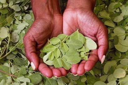 Moringa Oleifera leafs