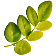 moringa_leaf