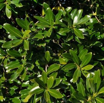 Warburgia-salutaris-foliage