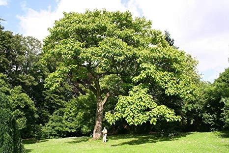 Terminalia Arjuna tree